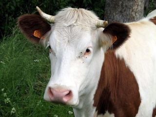 Vache-sauvain